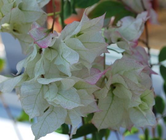 Bourgainvillea Mahara White. (Bougainvillea glabra (Lesser Bougainvillea))
