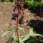 Fritillaria persica (Fritillaria persica (Fritillary))