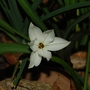 "Ipheion ""Alberto Castillo"" (Ipheion uniflorum (Ipheion))"