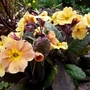 Little border primula with bronzy leaves.