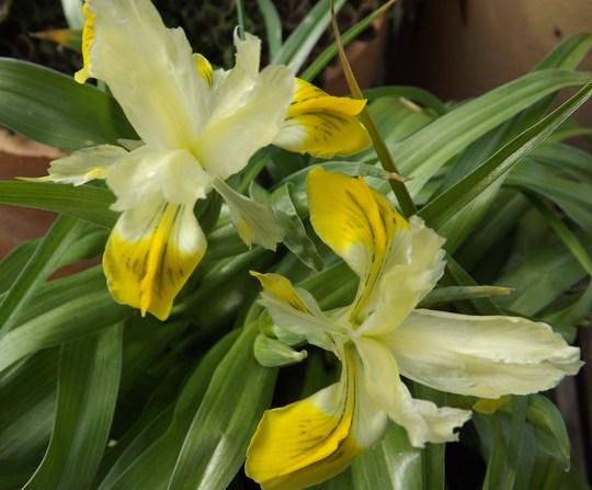 Iris bucharica (agm) (Iris bucharica)