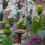Prunus Snow Showers (Prunus)