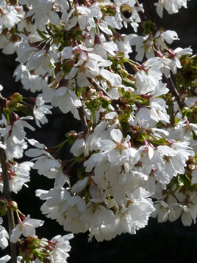 Prunus blossoms (Prunus)