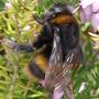 Busy busy Bee! (Prunus)