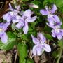 Spring violets (violet)