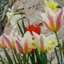 Spring Tulips (Tulips)