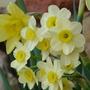 For Amy - pretty Narcissi (Narcissi)
