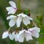 Prunus incisa - Kojo-no-mai (Prunus incisa)