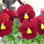 Red Violas (Viola)