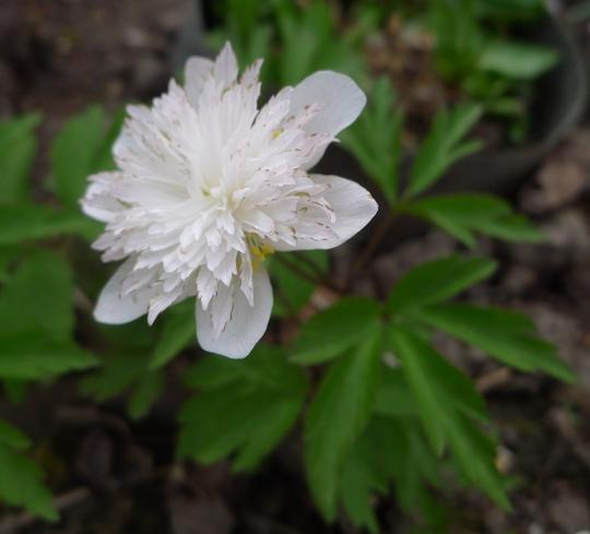 Anemone sylvestris 'Flore Pleno' - 2013 (Anemone sylvestris)