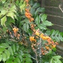 Berberis linearifolia 'Orange King' - 2013 (Berberis linearifolia 'Orange King')