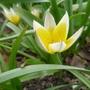Tulipa_dasystemon_2013