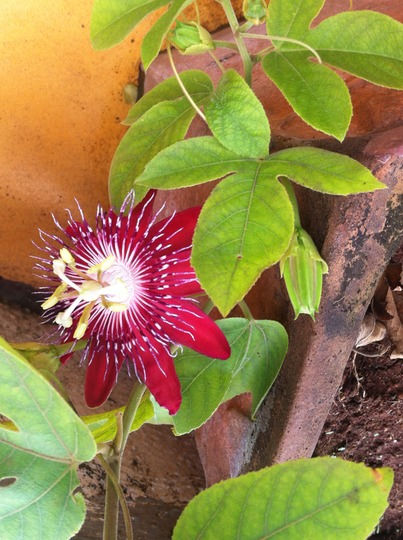 Red Passion  (Passiflora incarnata)