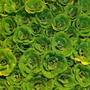 Cabbages aflot... (Pistia Stratiotes)