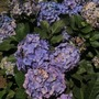 no points for guessing... the brit favourite... Hydrangeas