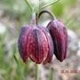 Fritillaria_montana