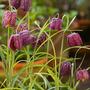 Fritillaria1