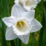 Daffodil_tresamble