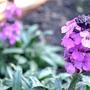 Erysimum Bowles Mauve (Erysimum bicolor (Bowles' perennial wallflower))