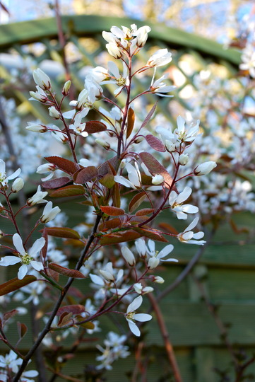 Amelanchier in full bloom.. (Amelanchier canadensis (Shadbush))