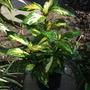 Aucuba japonica Picturata.... (Aucuba japonica Picturata.)