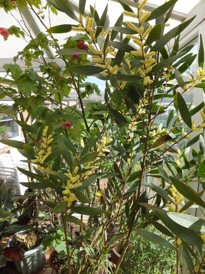 Mimosa longifolia (Mimosa longifolia)