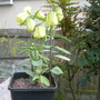 Fritillaria pallidiflora 2 (Fritillaria pallidiflora)