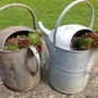 Sempervivums planted in old watering cans