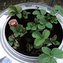 My recycle Strawberry planter