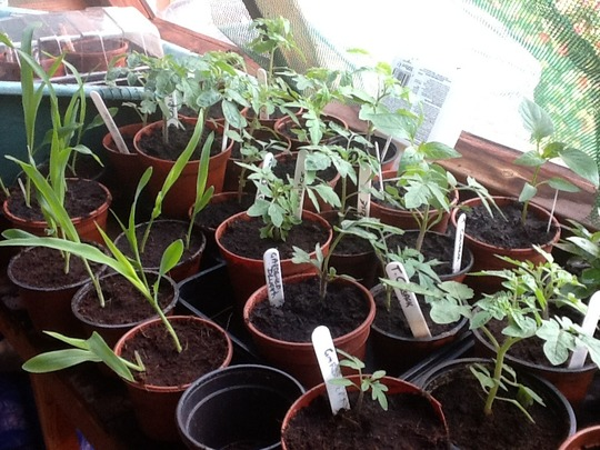 Seedlings In The Potting Shed.