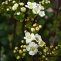 Spiraea (bridal wreath) - for my records (Spiraea prunifolia (Bridalwreath Spiraea))