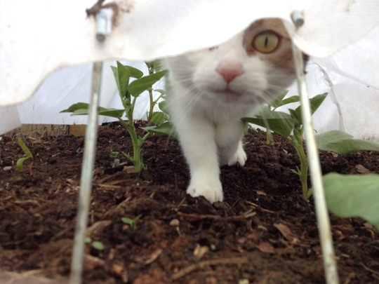 Milliepuss checking the broad beans!!