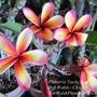 Plumeria 'Lucky Star'