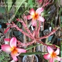 Plumeria 'Molokai Rainbow'