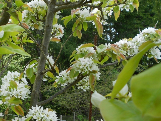 Oriental Apple-pear in bloom