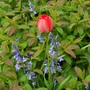 Red tulip and scilla in St john's wort greenery
