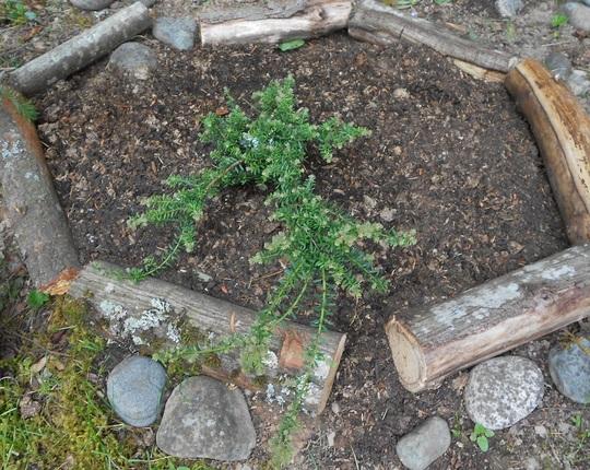 Podocarpus lawrencei (Podocarpus lawrencei)