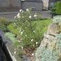Viburnham (Viburnum carlesii (Viburnum))