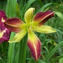 Daylily cross - Spotted Fever x Screaming Eels
