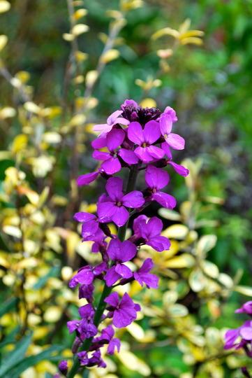 Erysimum Bowles Mauve. (Erysimum bicolor (Bowles' perennial wallflower))