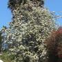 Bauhinia variegata 'Candida' - White Orchid Tree (Bauhinia variegata 'Candida' - White Orchid Tree)