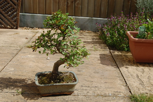 Bonsai Chinese Elm (Ulmus parvifolia (Chinese Elm))