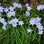 Ipheion Wisley blue (Ipheion Wisley blue)