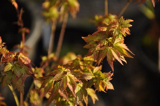 Acer 'Little Princes' (Acer palmatum (Japanese maple))