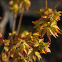 Acer &#x27;Little Princes&#x27; (Acer palmatum (Japanese maple))