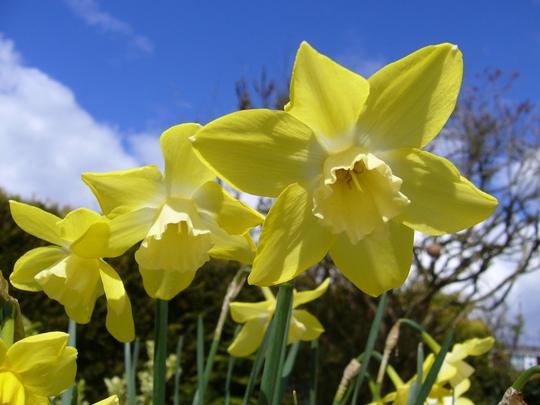 Narcissus 'Pipit' (Narcissus jonquilla (Jonquil))