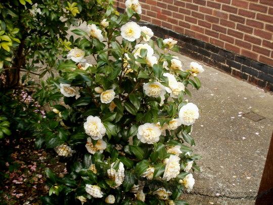camellia bush (camellia brushfields yellow)