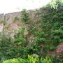 my climbing hydrangea
