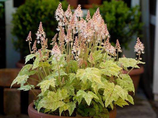 """Tiarella """"Mystic Mist"""" (Tiarella cordifolia (Foam flower))"""