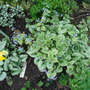 BRUNNERA LOOKING GLASS (less vigorous) AND JACK FROST